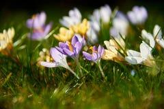 Açafrões de florescência Foto de Stock Royalty Free