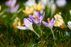 Açafrões de florescência Fotografia de Stock