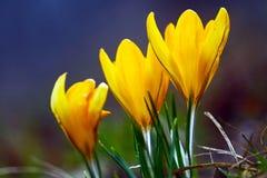 Açafrões de florescência amarelos Fotos de Stock Royalty Free