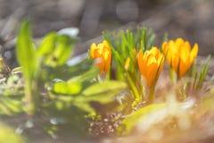 Açafrões de florescência amarelos Baixo ângulo NASCER DE O SOL Imagens de Stock