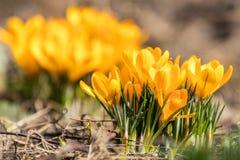 Açafrões de florescência amarelos Baixo ângulo NASCER DE O SOL Imagem de Stock