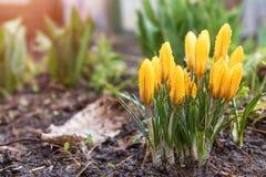 Açafrões de florescência amarelos com gotas da água Baixo ângulo NASCER DE O SOL Fotos de Stock