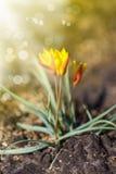Açafrões de florescência bonitos Fotos de Stock Royalty Free