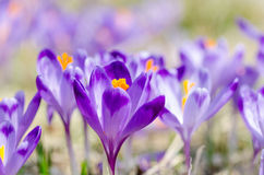 Açafrões de florescência bonitos no vale do chocholowska no moun do tatra Imagem de Stock Royalty Free