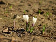 Açafrões de florescência brancos que crescem na mola Imagem de Stock