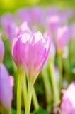 Açafrões de florescência cor-de-rosa no jardim Imagens de Stock Royalty Free