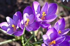 Açafrões de florescência da mola Imagem de Stock