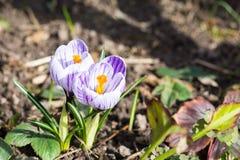 Açafrões de florescência da mola Imagem de Stock Royalty Free