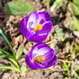 Açafrões de florescência da mola Foto de Stock Royalty Free