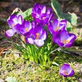 Açafrões de florescência da mola Imagens de Stock