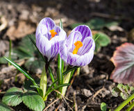 Açafrões de florescência da mola Fotografia de Stock