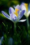 Açafrões de florescência das flores pequenas da mola delicadamente Imagens de Stock