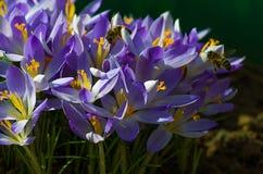 Açafrões de florescência das flores pequenas da mola delicadamente Imagem de Stock