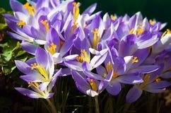 Açafrões de florescência das flores pequenas da mola delicadamente Fotografia de Stock