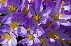 Açafrões de florescência das flores pequenas da mola delicadamente Imagens de Stock Royalty Free