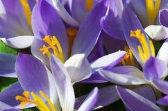 Açafrões de florescência das flores pequenas da mola delicadamente Imagem de Stock Royalty Free