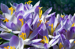 Açafrões de florescência das flores pequenas da mola delicadamente Fotos de Stock Royalty Free