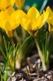 Açafrões de florescência das flores pequenas da mola delicadamente Foto de Stock Royalty Free