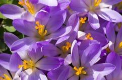 Açafrões de florescência das flores pequenas da mola delicadamente Foto de Stock