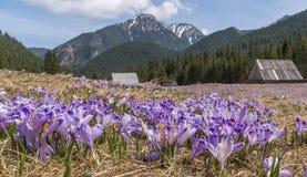 Açafrões de florescência em uma clareira da montanha Tatry Fotos de Stock Royalty Free