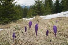 Açafrões de florescência em uma clareira na floresta Foto de Stock Royalty Free