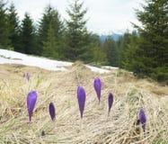 Açafrões de florescência em uma clareira na floresta Imagem de Stock