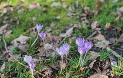 Açafrões de florescência lilás na natureza selvagem Fotos de Stock Royalty Free