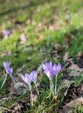 Açafrões de florescência lilás na natureza selvagem Fotografia de Stock Royalty Free