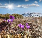 Açafrões de florescência nas montanhas Imagem de Stock Royalty Free
