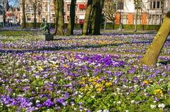 Açafrões de florescência no Emmaplein em Groningen Foto de Stock Royalty Free