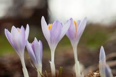 Açafrões de florescência no esclarecimento A planta no açafrão Fotografia de Stock