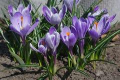 Açafrões de florescência no jardim na primavera Flowerb de florescência Fotografia de Stock Royalty Free