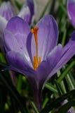 Açafrões de florescência no jardim na primavera Flowerb de florescência Foto de Stock Royalty Free