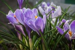 Açafrões de florescência no jardim na primavera Flowerb de florescência Imagem de Stock Royalty Free