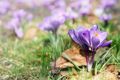 Açafrões de florescência no parque na primavera Imagens de Stock Royalty Free