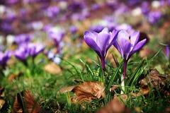 Açafrões de florescência no parque na primavera Imagens de Stock