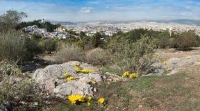 Açafrões de outono amarelos no monte de Areopagus, Atenas, Grécia Fotografia de Stock Royalty Free