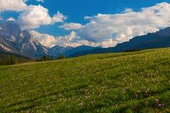 Açafrões de outono nas dolomites, Itália Foto de Stock Royalty Free
