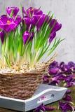Açafrões, decorações da tabela na mola Foto de Stock Royalty Free