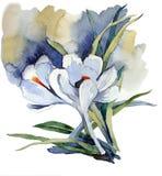 Açafrões delicados brancos da primeira aquarela das flores Fotografia de Stock