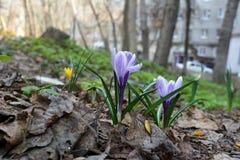 Açafrões delicados no dia de mola Natureza na cidade Esverdeamento da jarda da cidade Fotografia de Stock Royalty Free