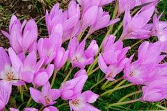 Açafrões do açafrão ou flores do croci Imagens de Stock