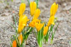 Açafrões dourados com as flores fechados durante a primavera Fotografia de Stock