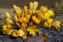 Açafrões dourados da primeira mola Fotografia de Stock Royalty Free