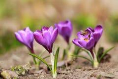Açafrões e abelhas Foto de Stock Royalty Free