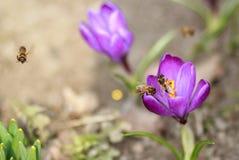 Açafrões e abelhas Fotos de Stock Royalty Free