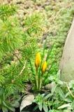 Açafrões e agulhas amarelos Fotografia de Stock Royalty Free