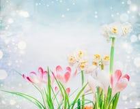 Açafrões e flores cor-de-rosa dos narcisos amarelos na luz - fundo azul com bokeh Fotografia de Stock