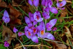 Açafrões e galanthus bonitos da mola no jardim Fotografia de Stock