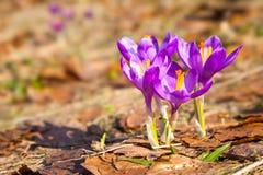 Açafrões e grama roxos bonitos Fotografia de Stock Royalty Free